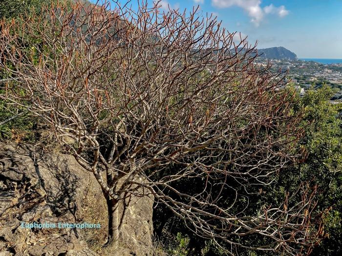 07 Euphorbia Enterophora